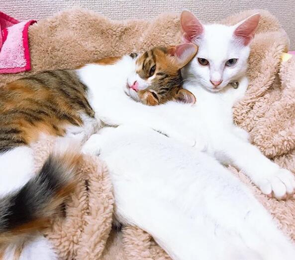 日本田园猫_【中华田园猫】基本资料及图片_价格_中华田园猫注意事项-猫语录