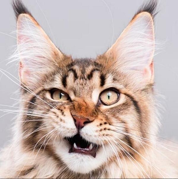 日本田园猫_【日本田园猫】基本资料及图片_价格_日本田园猫注意事项-猫语录